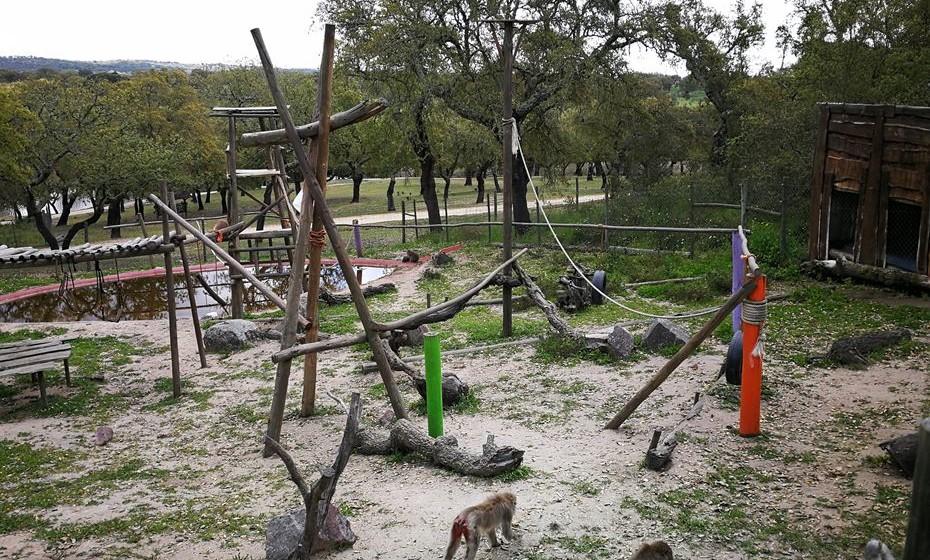 Os macacos a brincar