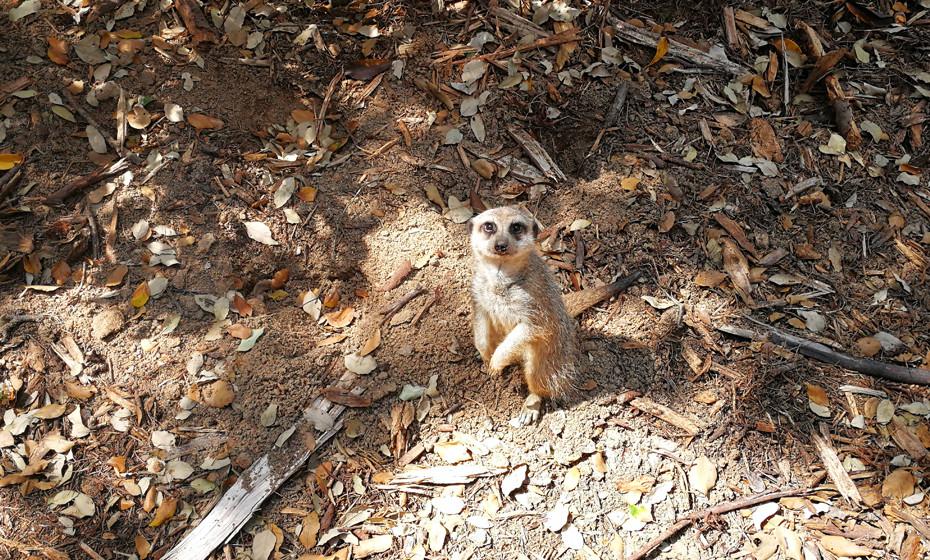 Os suricatas são animais muito bem dispostos e sempre prontos para que lhes tirem fotografias