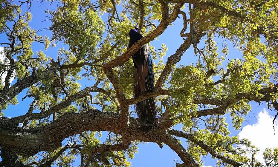 Pavão na árvore