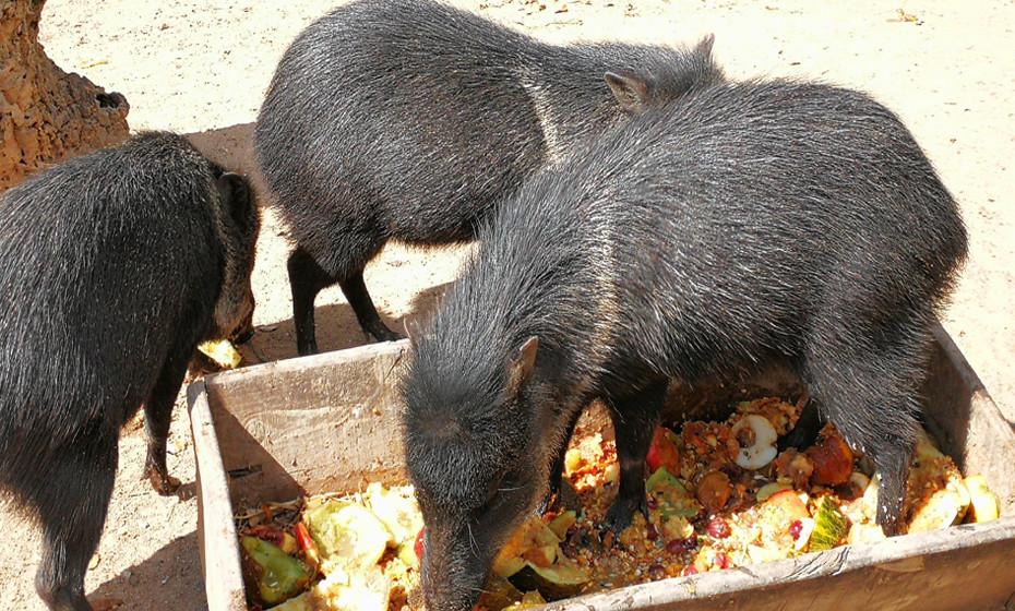 Porquinhos a alimentarem-se