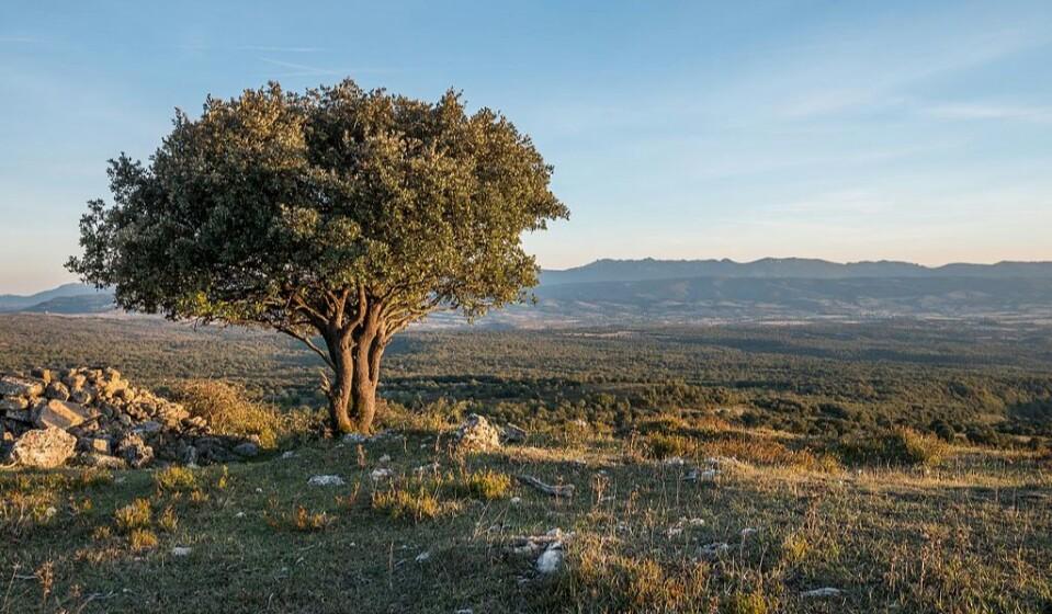 Guara, Arvore na Cantabria - wikimedia