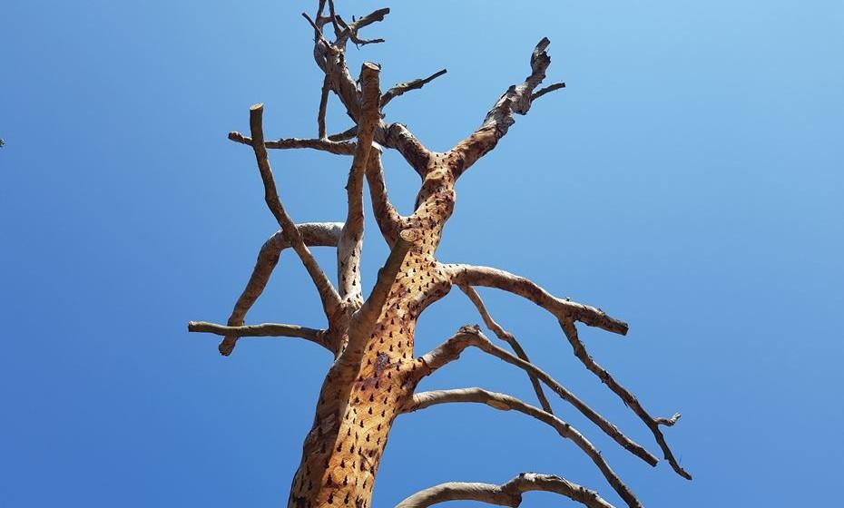 O artista ambiental Stuart Ian Frost gravou na superfície desta árvore de 15 metros centenas de gotas de água que caem continuamente em conjunto lembrando lágrimas.