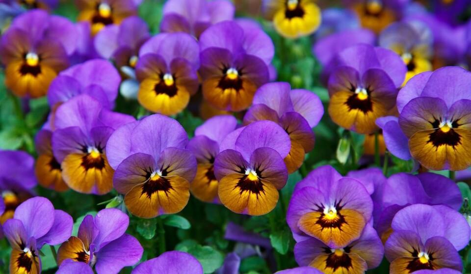 Amores perfeitos – esta flor domina os jardins no tempo do frio. As suas flores podem ser roxas, azuis, amarelas ou brancas. Sabia que o amor-perfeito é uma das poucas flores que é inteiramente comestível? Mas é preciso cultivá-los para este fim e sem adição de produtos químicos.