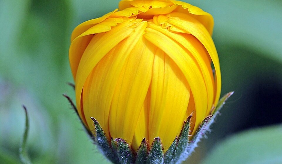Calêndula - esta planta é natural da África Central e pode ser utilizada no fabrico de medicamentos ou cosméticos. Para a plantar apenas precisa de sol, cerca de 4 horas por dia, e ser regada quando a terra parecer estar seca.