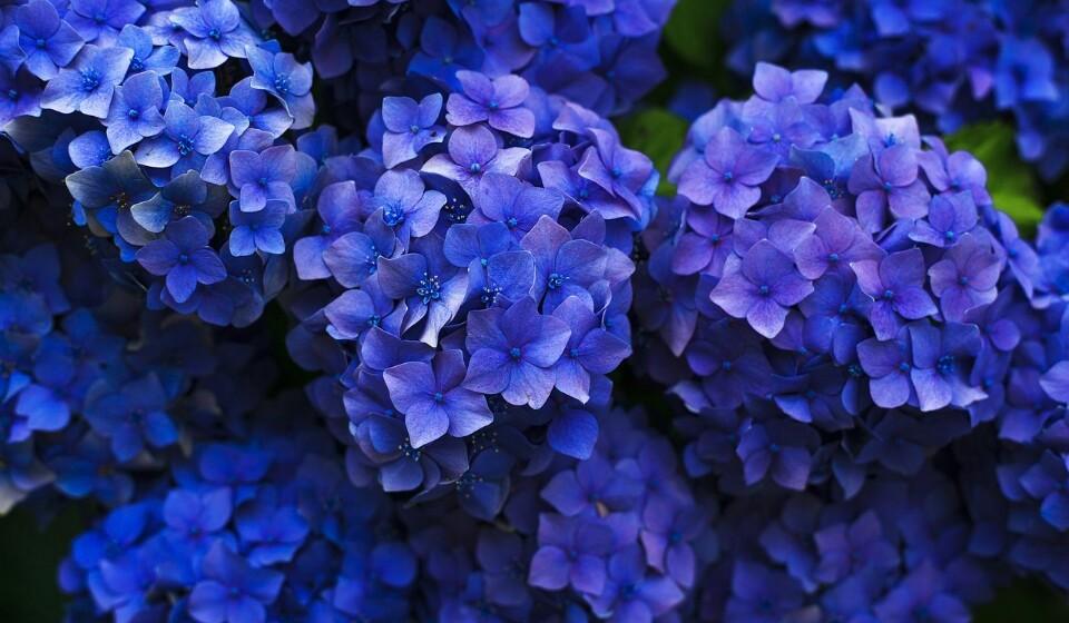 Plantas com folhas outonais - Hortênsias ou arbustos japoneses são algumas destas plantas outonais. Se quiser uma folhagem bonita, vigie de perto as regas.
