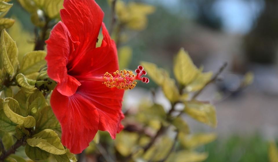 Hibisco - mesmo sendo muito resistentes ao tempo, estas flores não devem receber luz solar diretamente, pois danificam-se muito rapidamente.