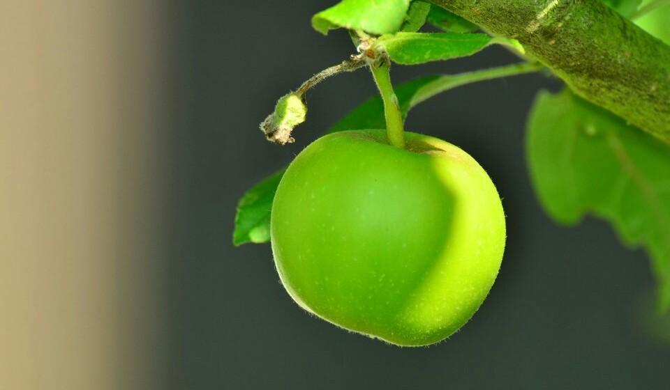 Maçãs - Estas, para além de serem bastante saborosas, são ricas em fibra. Uma maçã média tem cerca de 4,4% de fibra.