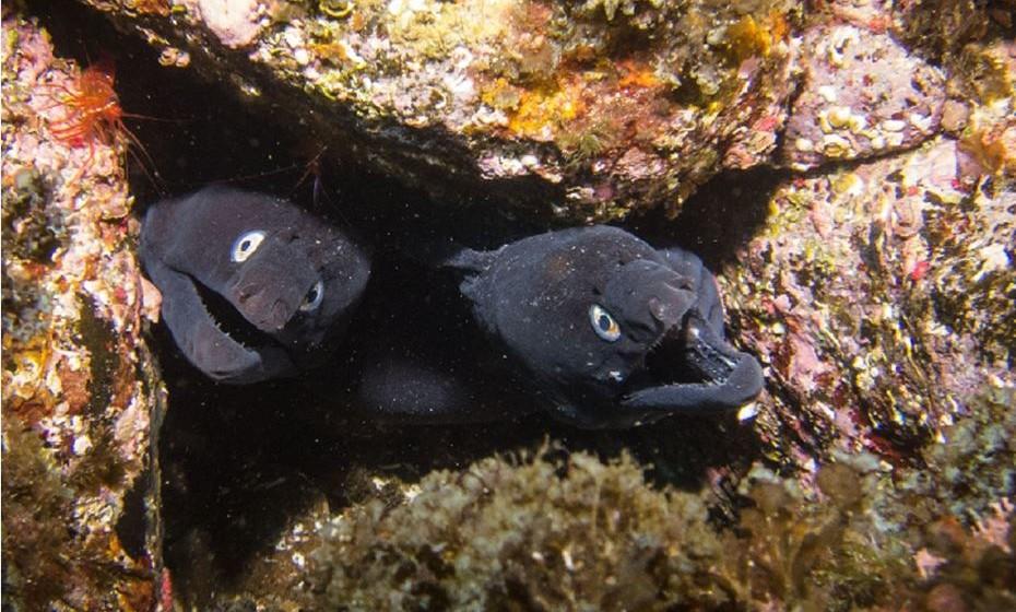 Moreia Negra