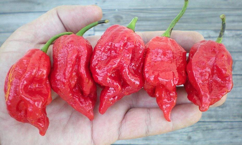 10 - 7 Pot Barrackpore: 1,000,000 a 1,300,000. É uma força real entre as pimentas mais quentes do mundo. O que tem extra no calor, porém, perde um pouco no sabor geral. É um pouco mais amargo e menos frutado do que outros pimentões superquentes.