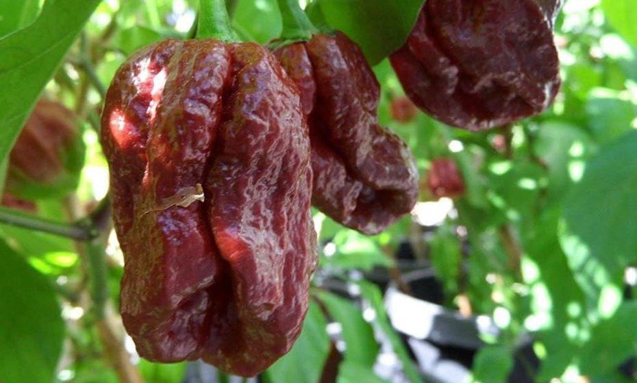 4 - 7 Pot Douglah: 923,889 a 1,853,986 SHU. Esta não é a típica 7 Pot Pepper. Ela envelhece até um castanho chocolate e tem mais sabor doce e noz do que frutado. E em termos de calor, é um grande aumento em relação aos outros 7 potes - no seu pico se aproxima da marca de 2 milhões de unidades de calor Scoville, que apenas alguns pimentões chegam perto (ou superam).
