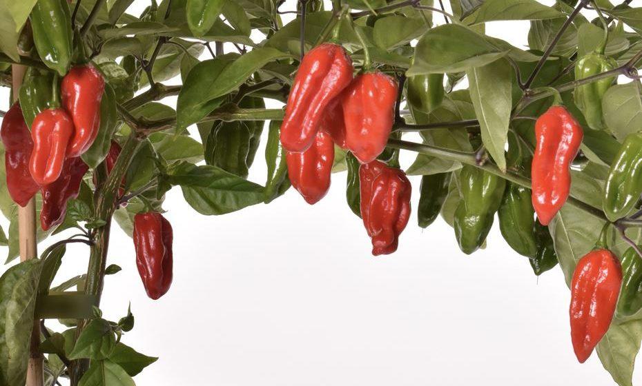 6 - Naga Morich: 1,000,000 a 1,500,000 SHU. Uma parente da pimenta fantasma, a Naga Morich (também conhecida como pimentão da serpente. Tem um sabor doce, quase floral e um calor de queima lenta.