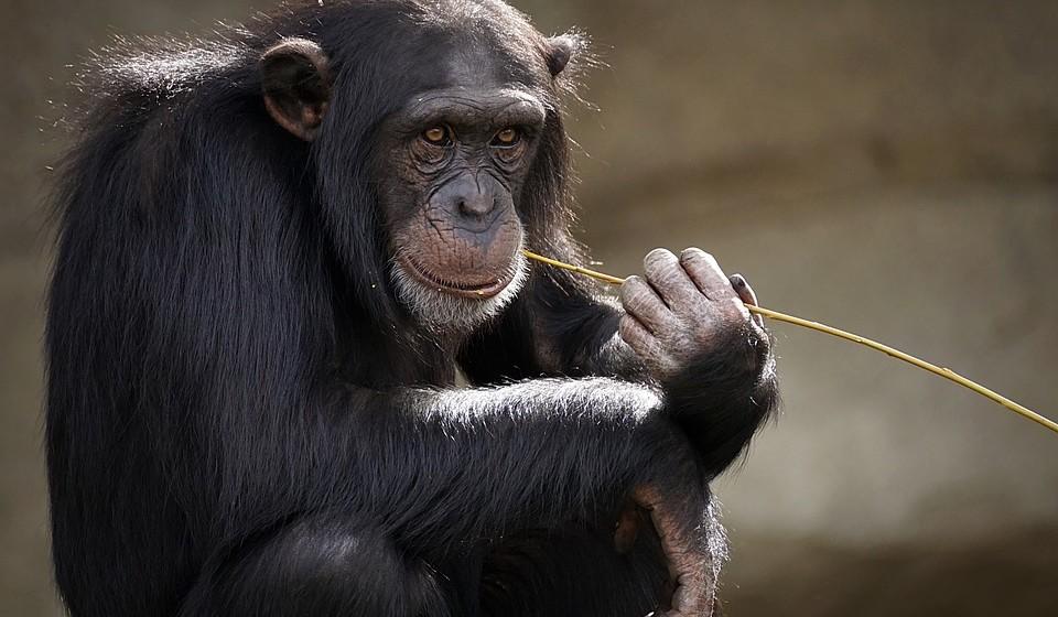 Macaco (anos: 2004, 1992, 1980, 1968, 1956, 1944, 1932, 1920..)