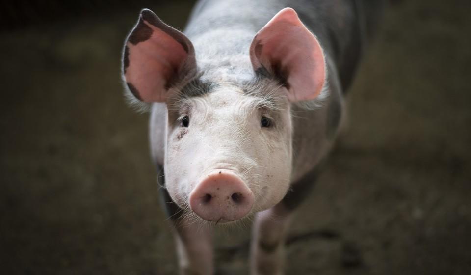 Porco (anos: 2007, 1995, 1983, 1971, 1959, 1947, 1935, 1923, 1911...)