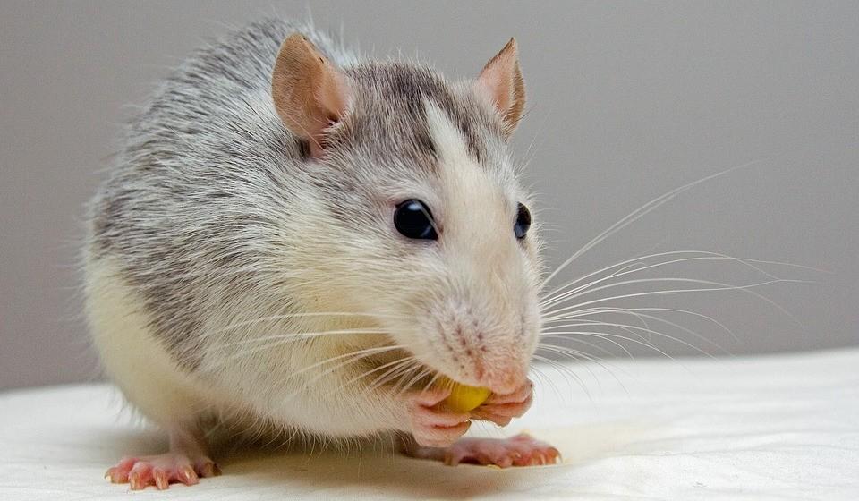 Rato (anos: 2008, 1996, 1984, 1972, 1960, 1948, 1936, 1924...)