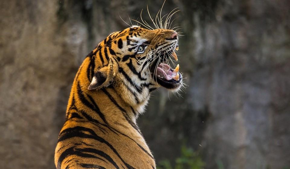 Tigre (anos: 2010, 1998, 1986, 1974, 1962, 1950, 1938, 1926, 1914... )