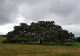A azinheira tem 150 anos e 20 metros de copa