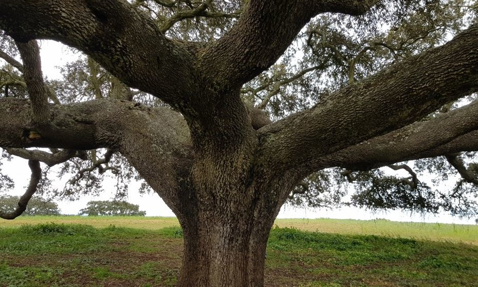 Do tronco saem ramos imponentes