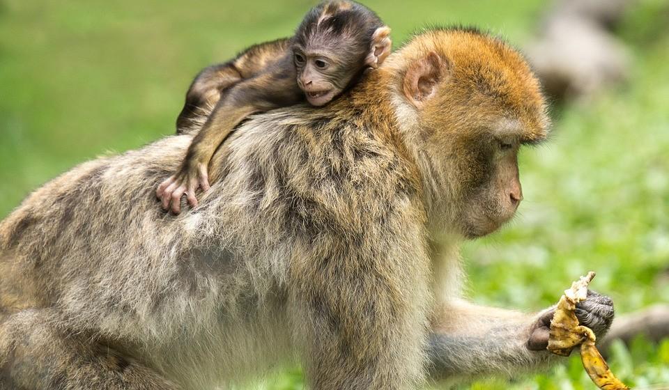 A destruição do habitat, a exploração, e as mudanças climáticas estão a levar à perda de metade da população de animais selvagens do mundo.   Os primatas, nossos parentes animais mais próximos, estão sob ameaça extraordinária. Cerca de 60% das 504 espécies de primatas do mundo estão ameaçadas de extinção.