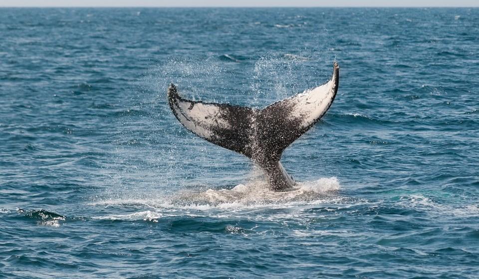 Nos últimos 20 anos, cerca de 75% de todas as espécies de baleia dentadas, tais como golfinhos, botos, e 65% das espécies de baleia barbatana (bossa, azul), e 65% das espécies de pinípedes (leões do mar) foram afetados pela captura secundária em operações de pesca a nível mundial.