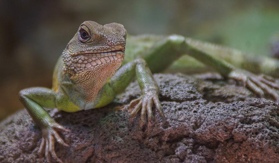 As populações de lagartos são especialmente vulneráveis às mudanças climáticas. Um estudo recente projeta que 40% de todas as espécies de lagartos estarão extintas em 2080.