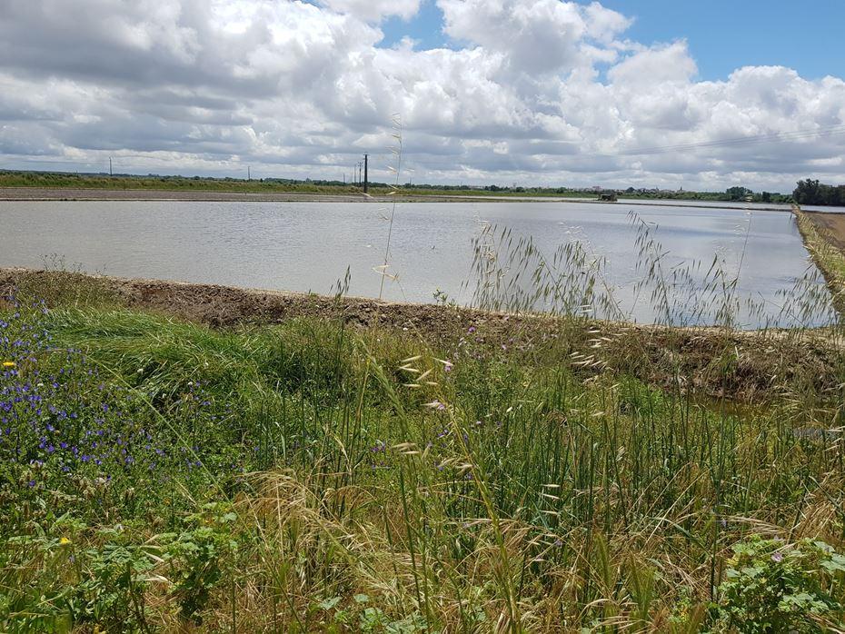 Campo de arroz na lezíria ribatejana