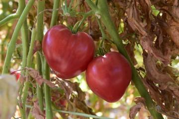 O tomate, cientificamente designado como 'Solanum Lycopersicum', é um fruto de uma planta da família das solanáceas, nativa da América do Sul. Apesar de ser tecnicamente um fruto, é geralmente classificado como um vegetal. Conheça melhor as suas características e 'abuse' dele na sua dieta. (Foto: tomate coração de boi / @Paulo Pereira)