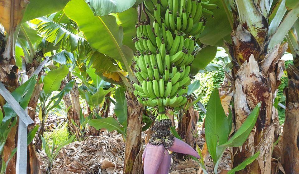 Uma das inúmeras bananeiras que existem na Madeira