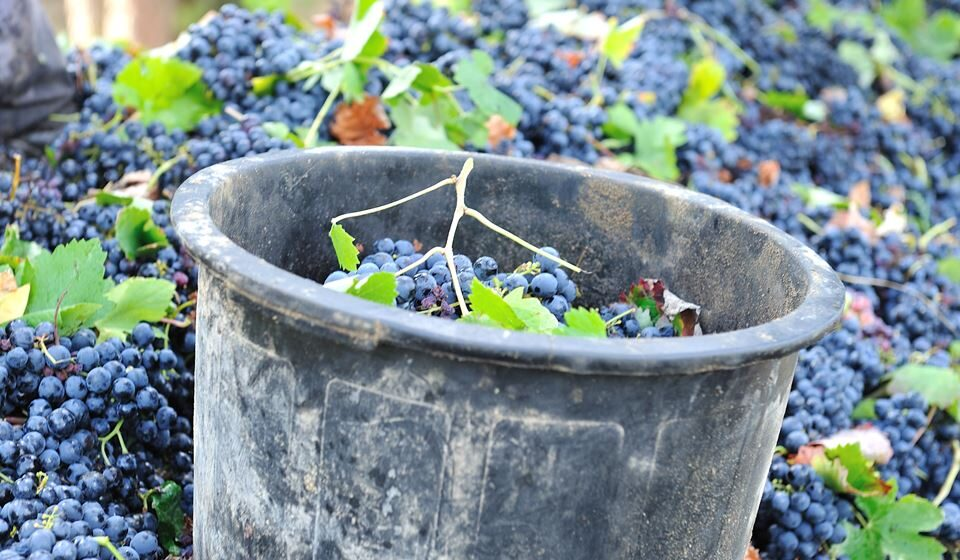 Vindimas de vinhos da Peninsula de Setúbal