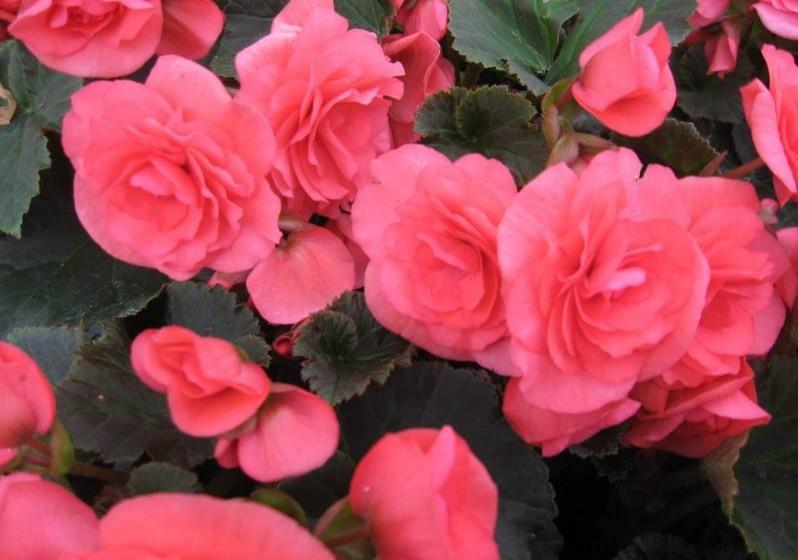 Begónia – Estima-se que haja cerca de 1000 variantes de begónias, sendo muito apreciadas para decoração de interiores. Simbolizam a felicidade, delicadeza e cordialidade.