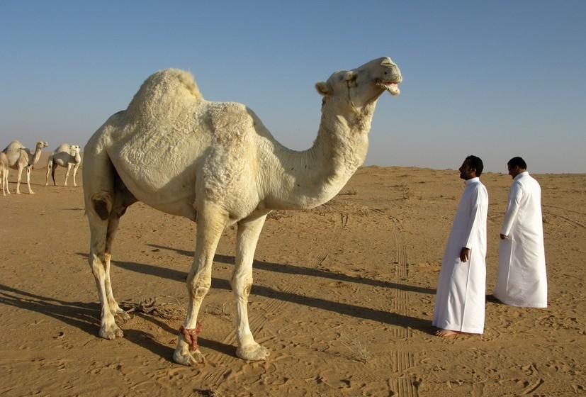 Camelo: Se, no seu sonho, o camelo carrega carga, quer dizer que vai encontrar solução para um problema. Ver vários camelos no deserto, significa que, no último minuto, vai receber ajuda em determinada situação.