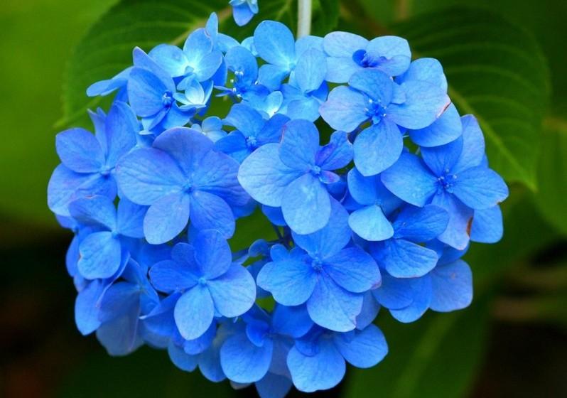Hortênsia – Chama a atenção pelos seus belos cachos de flores. Significa a realização de bons propósitos.