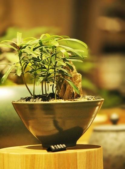 Um teste para saber se a luz é boa para a planta é observar se as folhas estão a amarelecer. Isto é sinal de excesso de luz. Já as folhas muito escuras podem indicar falta de luz. Mova a planta até que ela estabilize. Normalmente deixar o bonsai dentro de casa não é uma boa opção, pois as condições de luminosidade não são adequadas. No entanto, espécies como oliveiras, camélias e algumas plantas cítricas adaptam-se melhor em ambientes internos.