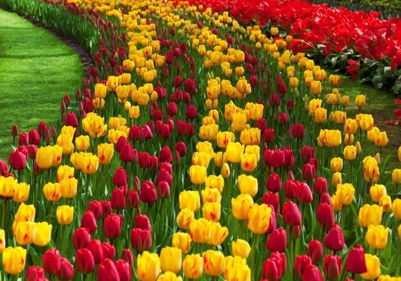 Tulipas - Existem numa ampla variedade de cores e podem, por isso, ser usadas em diversas ocasiões. O vermelho, uma vez mais, representa o amor, o roxo a elegância, o branco a paz, etc..