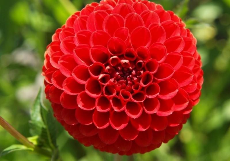 Dália – Uma flor de caule longo existente em várias cores. Se quer simbolizar o amor recíproco ofereça amarelas, as vermelhas insinuam uma paixão abrasadora.