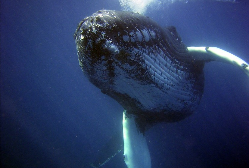 Baleia: Se no seu sonho a baleia se aproxima de um navio, significa que há problemas a caminho da sua vida. Se a baleia está morta, então irá enfrentar escolhas difíceis mas que poderão resultar em grandes sucessos. Se uma baleia ataca um navio e este se vira, então uma reviravolta vai acontecer na sua vida.