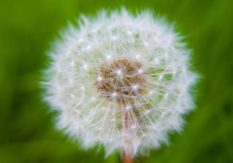 Dente de leão –  Pelas suas características de flor frágil e delicada que voa com o vento, esta flor está associada à liberdade, esperança e espiritualidade.