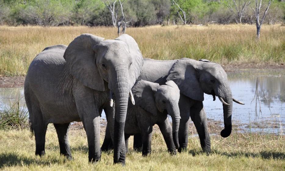 Elefante: Ver um elefante nos seus sonhos é sinal de boa sorte. Se está a montá-lo, quer dizer que vai enriquecer e ser uma pessoa respeitada e bem-sucedida. Sonhar com muitos elefantes é presságio de muita prosperidade, enquanto apenas um animal significa um rendimento modesto mas estável. Alimentar um elefante em sonhos quer dizer que a sua bondade e honestidade vão trazer-lhe sucesso.