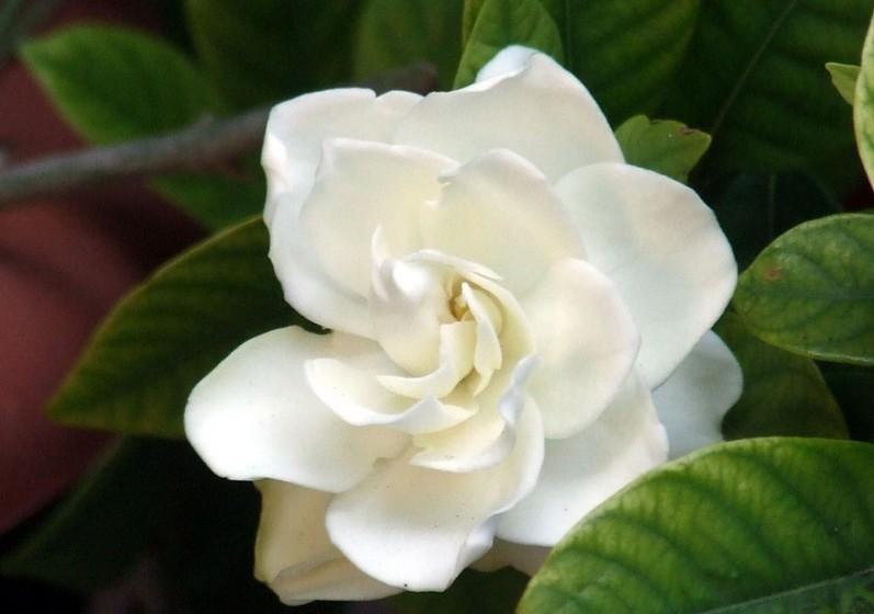 Gardénia – Originária da China, apresenta grandes e belas folhas brancas. Significa, por isso, pureza, sinceridade e doçura.