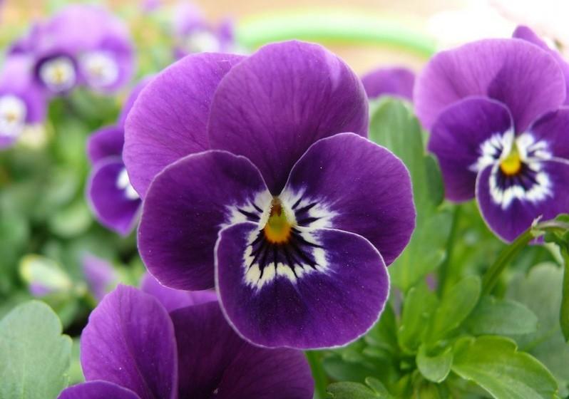 """Amor-perfeito – Como o próprio nome indica, esta bela flor simboliza o amor recíproco, feliz, eterno. A combinação de três cores nas suas pétalas são a razão para também ser designada por """"Erva-da-trindade""""."""