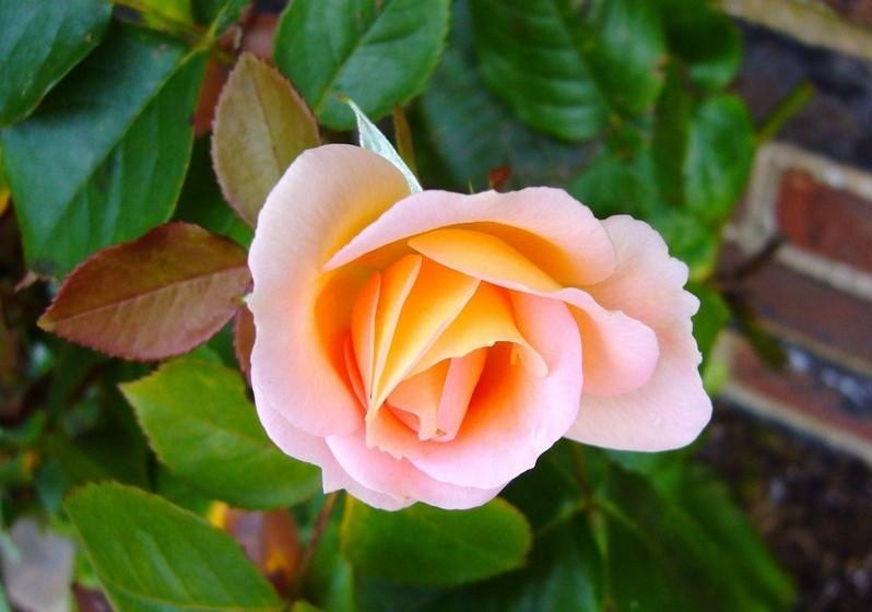 Rosa – A mais conhecida e romântica das flores existe em várias cores, cada uma com o seu significado. Ofereça vermelhas em sinal de amor, brancas em sinal de reverência, amarelas aos amigos…