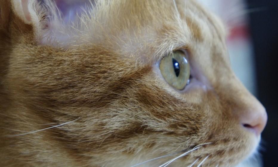 Assustado: Quando o gato tem medo, as pupilas dilatam-se e o corpo contrai-se, os bigodes tão puxados para trás e a cauda fica debaixo do corpo.