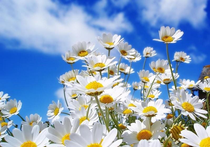 "Margarida – A ""flor das donzelas"" é bela e delicada como as jovens senhoras. Representa a juventude, a inocência e o afeto."