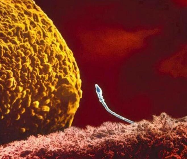 O momento da chegada do espermatozóide ao útero.