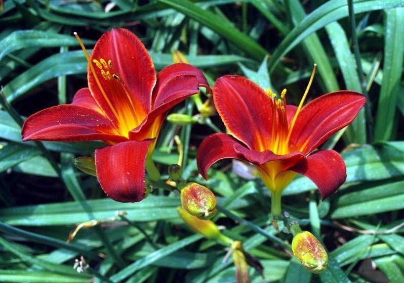 Lírios – Cultivados há mais de três mil anos, estão associados à fertilidade e pureza desde a Antiguidade. Para os chineses, esta flor significa o amor eterno.