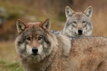 Já imaginou uivar com uma matilha de lobos, enquanto observa o fenómeno das Luzes do Norte na Noruega? Esta promete ser uma experiência inesquecível!