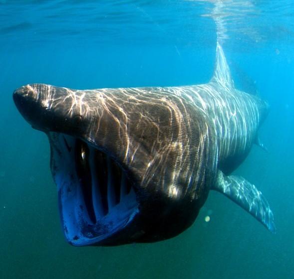 Tubarão: Geralmente sonhar com tubarões tem ligação a inimigos. Se o tubarão a ataca, é porque alguma coisa má está para acontecer, se ele nada em águas límpidas, está em risco de perder a sua relação. Ver um tubarão morto é sinal de que dias felizes vêm a caminho.