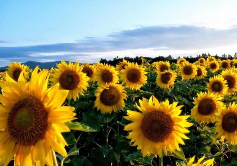 Girassol – Pela cor e formato e, até pelo nome, está associado ao sol, vida e energia. Representa ainda a glória e a alegria. São a flor ideal para alegrar um espaço.