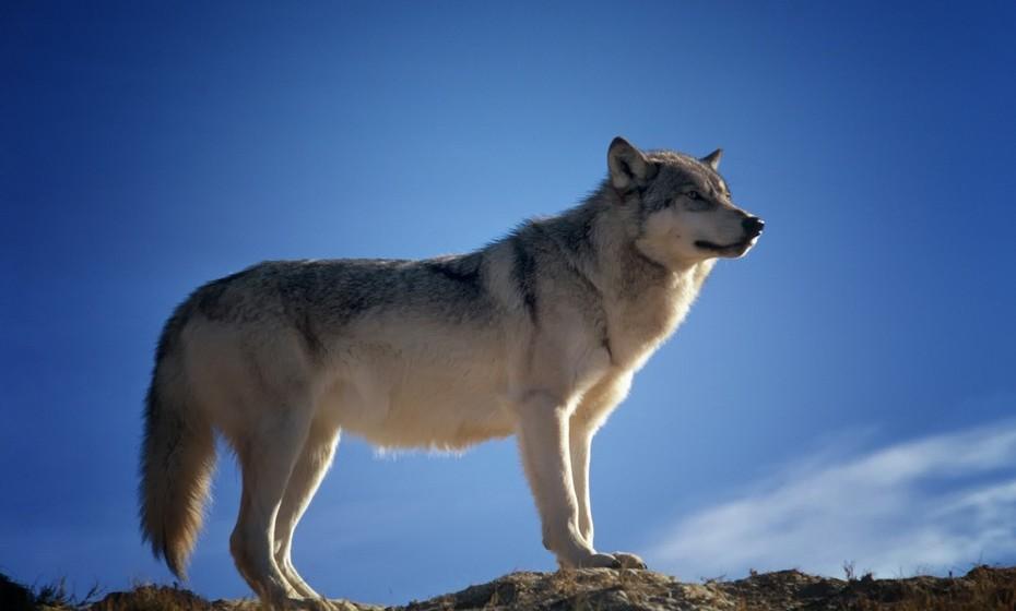 Lobo: Ver um lobo em sonhos deve deixá-lo alerta para alguém que não merece a sua confiança. Se mata um lobo, quer dizer que vai derrotar um inimigo. Por outro lado, ouvir o uivo do lobo em sonhos alerta-o para uma luta que vai ter de enfrentar.