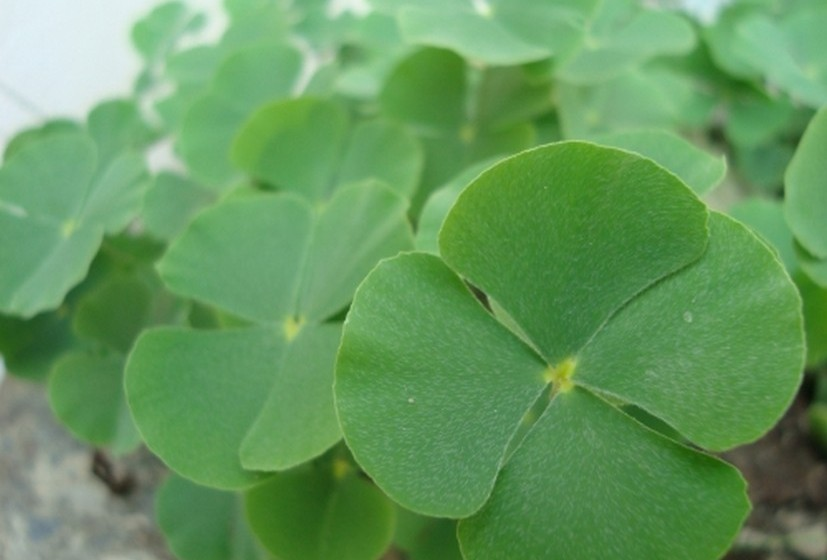 Trevo de quatro folhas: Mais do que um amuleto da sorte, o trevo de quatro folhas afasta o azar. Por isso, se encontrar algum não hesite em guardá-lo na carteira, pois trará sorte eterna. Dizem também que é o melhor aliado dos jogadores.