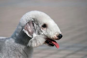 Ao longo da sua vida, é pouco provável que venha a cruzar-se com alguma destas raças. Ainda que tenham traços idênticos a outros cães que conhecemos, aqui fica uma lista de nove raças muito raras.